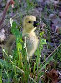 stock photo of mother goose  - The young goose is eating the grass - JPG