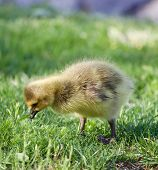 picture of mother goose  - Young goose is searching for something in the grass - JPG