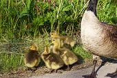 stock photo of mother goose  - The chicks of the Canada geese are snitching on someone - JPG