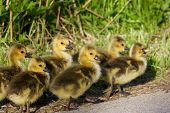 image of mother goose  - Six cute chicks of the cackling geese are going somewhere - JPG