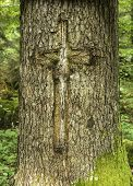 picture of scars  - Man made tree scar in a cross shape - JPG
