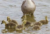 picture of mother goose  - Seven chicks of the cackling geese are swimming near their mom-goose