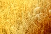 foto of fall-wheat  - Wheat spikes in golden field with cereal grain - JPG