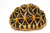 picture of tortoise  - Indian Starred Tortoise isolate on white background - JPG