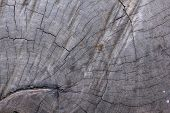 picture of transverse  - Natural Weathered Grey Tree Stump Cut Texture, Large Detailed Old Aged Gray Lumber Background
