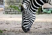 image of camoflage  - Striped Black and white zebra at zoo - JPG