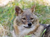 image of jackal  - European golden jackal  - JPG