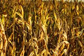 pic of corn stalk  - Dry corn field at the sunset. Agriculture ** Note: Shallow depth of field - JPG