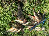 image of fishermen  - Freshly caught perch - JPG