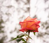 stock photo of condolence  - Rose flower background with neutral copy space - JPG