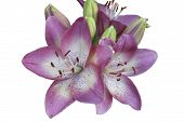picture of white lily  - A lovely blooming pink and white Asiatic lily commonly referred to as  - JPG