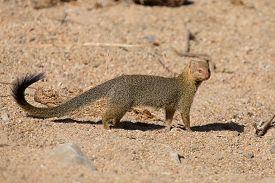 picture of slender  - Slender mongoose forage and look for food among rocks - JPG