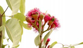 picture of eucalyptus leaves  - cluster of deep red flowers of Eucalyptus ptychocarpa an Australian red flowering bloodwood with large gum leaves Isolated on white background - JPG