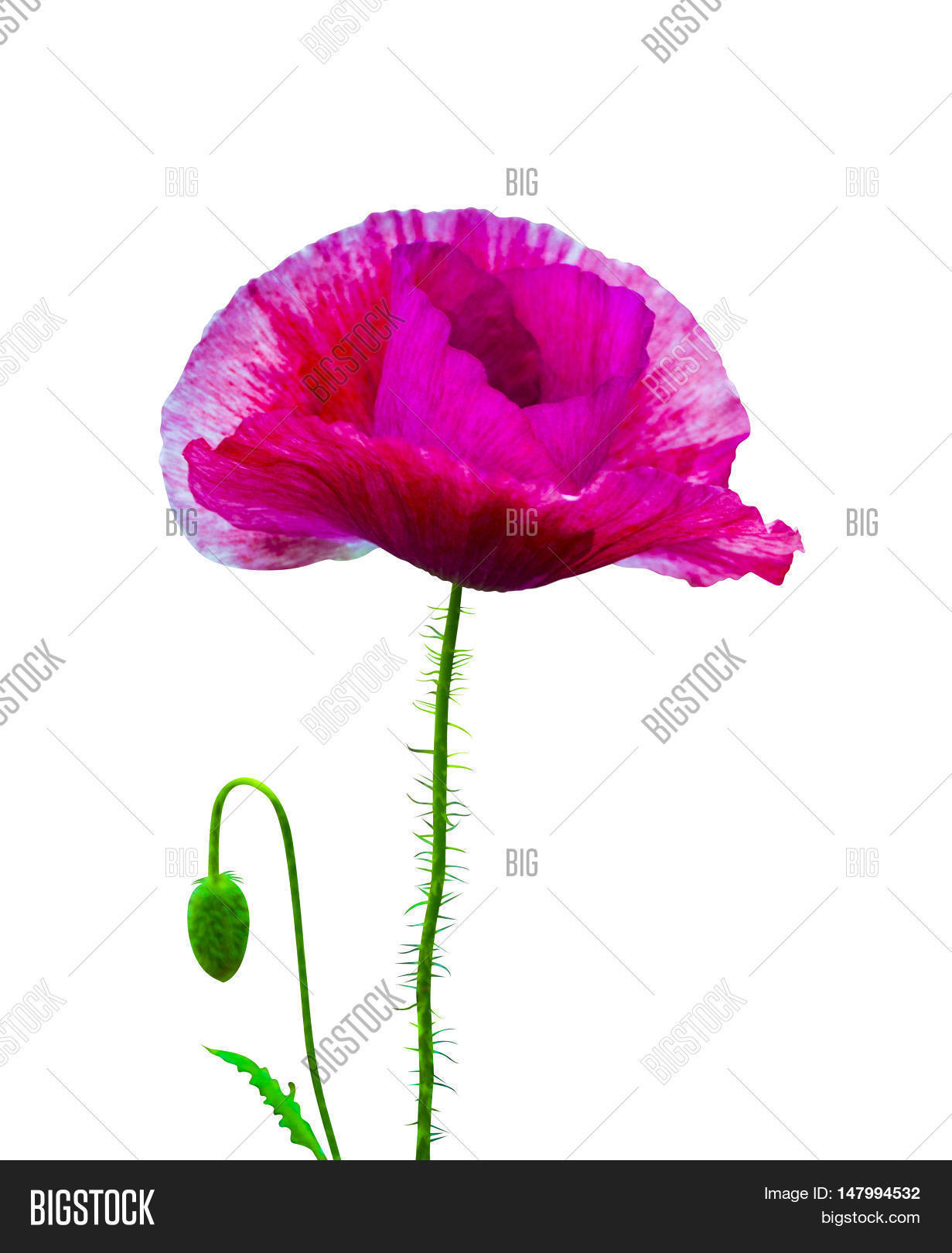 Poppy Red Poppy Isolated On White Backgroundd Poppy Beautiful