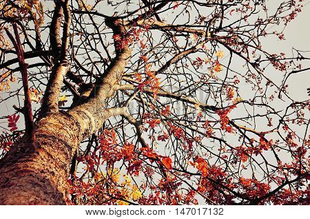 Autumn view of colorful autumn rowan berry tree.Rowan tree with red leaves against the clear autumn sky- autumn landscape in sunny weather.Vintage toned view of autumn colored nature. Autumn landscape