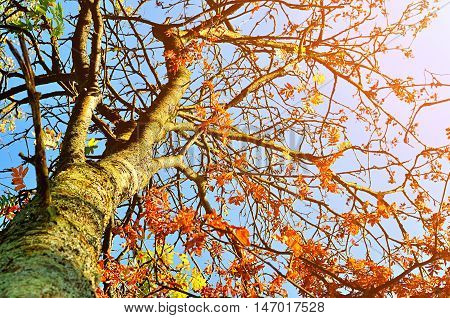 Autumn sunny view of rowan berry autumn tree. Rowan tree with red leaves against the clear autumn sky- autumn landscape in sunny weather. Picturesque view of autumn colored nature. Autumn landscape