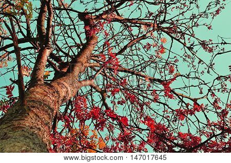 Autumn view of colorful autumn rowan berry tree. Rowan tree with red leaves against the clear autumn sky- autumn landscape in sunny weather. Autumn colored nature in vintage tones. Autumn landscape