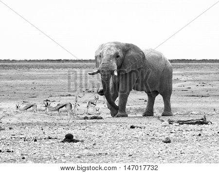 African elephant and impalas in dry landscape of Etosha National Park, Namibia