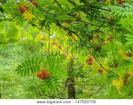 Beautiful red berries and vibrant green leaves on rowan tree amongst pine