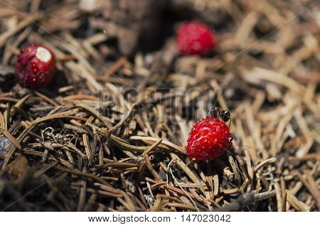 One ant testing wild strawberry in an anthill