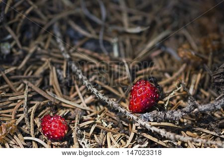 Two ants and two wild strawberries in an anthill