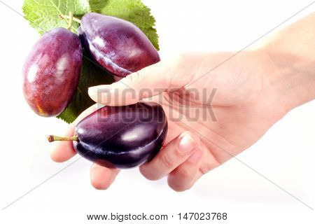 Group of plums with leaf isolated on a white background. Female hand holds one plum.