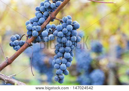 Merlot clusters on a vine. Harvest time
