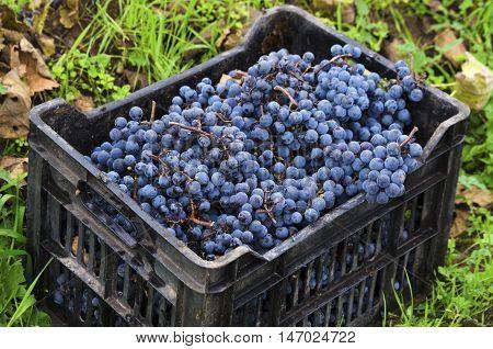 Crate of Merlot clusters in a vineyard