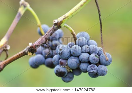 Merlot cluster with rotten grapes on a vine