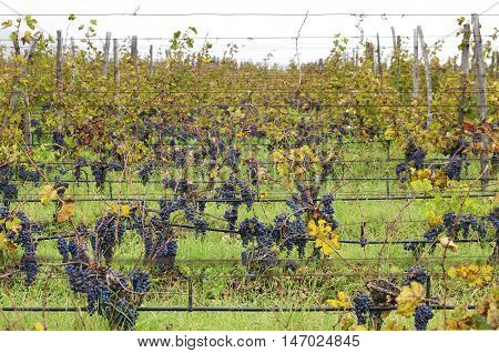 A lot of Merlot rows in a vineyard