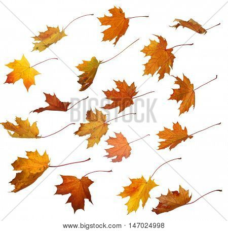 autumn  maple colorful leaves isolated on white background