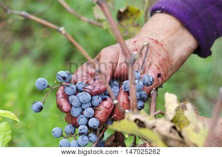 Vine harvesting in Bulgaria Merlot cluster in woman's hand