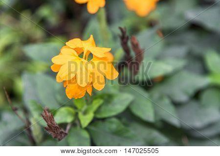 Single of Orange flowers in the garden