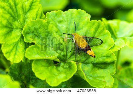 Hemaris fuciformis Sphingidae moth (Hawk moth) on green leaf.