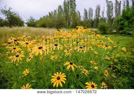 Yellow coneflower or rudbeckia flowers in a garden