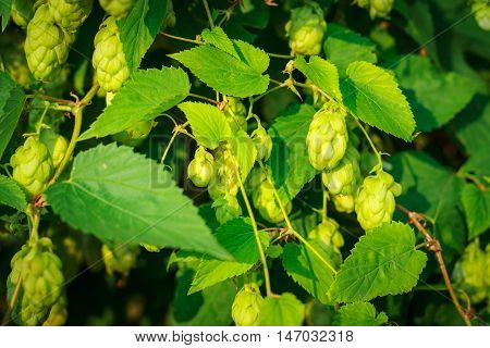 Background green bush of cones and leaves hops.