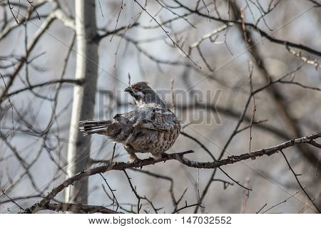 Male Hazel Grouse sitting on a tree among branches