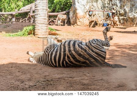 A Zebra is lying on the ground.