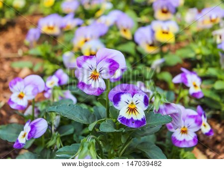 Viola tricolor pansy flower bed bloom in garden.