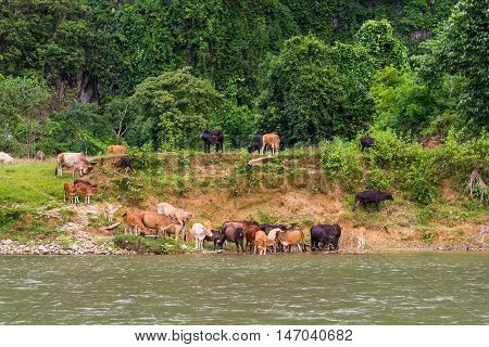 A herd of cows on a watering pond in countryside of Thailand.