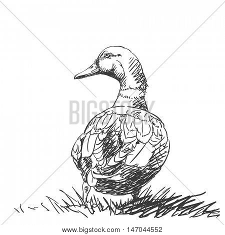 Duck isolated back view Vector sketch Hand drawn illustration black on white background