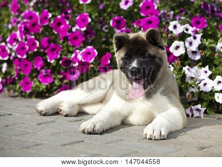 American Akita puppy,  3 months