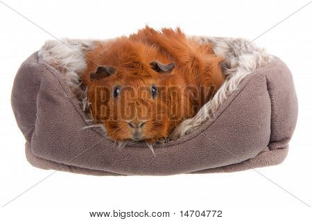 Guinea Pig In A Basket Isolated On White