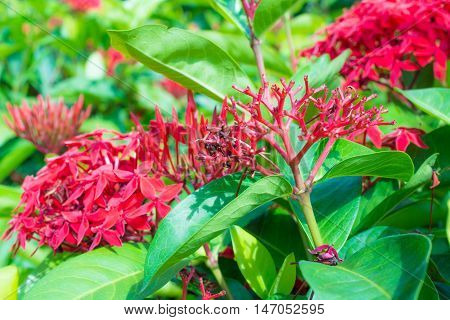 selective focus red ixora flower for background
