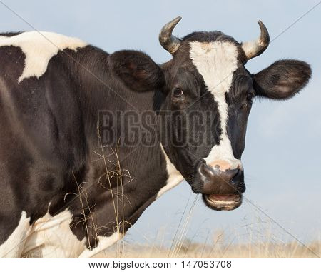 Cow Farm. Close Up Of Cows Head Grazing At  Field