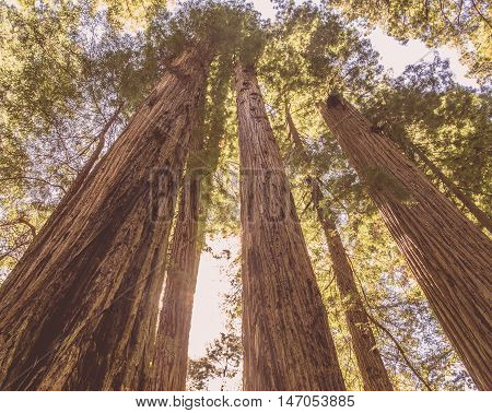 Redwoods, Wide angle, Summer, Northern California, Redwood Forest