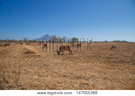Momotombo view with field and cows during summer station Nicaragua Centralamerica