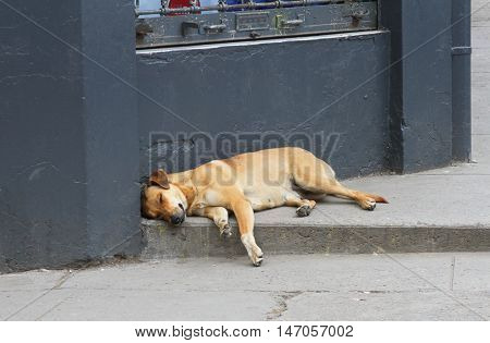 Big brown mixed-breed dog sleeping on sidewalk in city