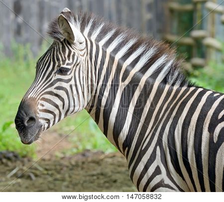 Closeup on beautiful zebra's head, close up