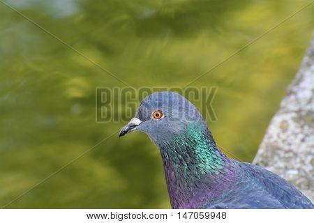 Pigeon portrait closeup city dove with orange eyes (Columba livia domestica)